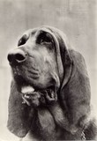 Chien de Saint-Hubert - Bloodhound